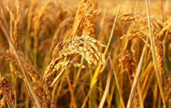 设立中国农民丰收节 绵阳这个县有贡献