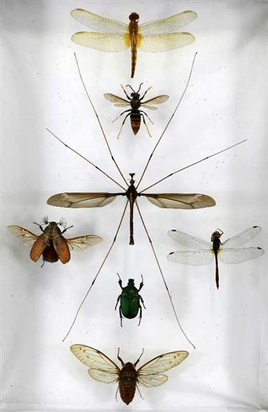 成都青城山发现巨无霸蚊子 或刷新世界纪录