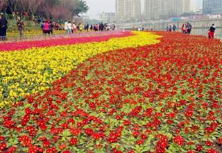 成都市区生态河堤鲜花绽放