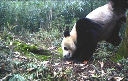 四川又见野生大熊猫倒立树干撒尿 尿得越高越强大