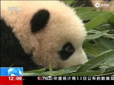 四川2017级大熊猫宝宝首次集体亮相 很萌很可爱