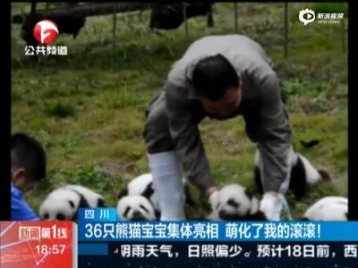 四川36只熊猫宝宝集体亮相 萌化了我的滚滚
