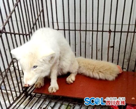 内江威远村民捡来流浪犬喂养 10余天后发现竟是白狐