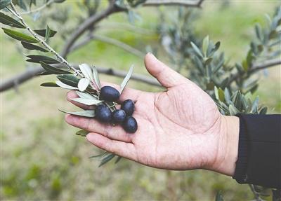 龚家山油橄榄主题公园初具规模 有人每月多挣两三千