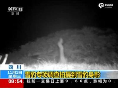 四川雪豹专项调查拍摄到雪豹身影