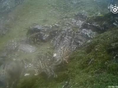 四川首次拍到四只雪豹同框画面 真是太萌啦