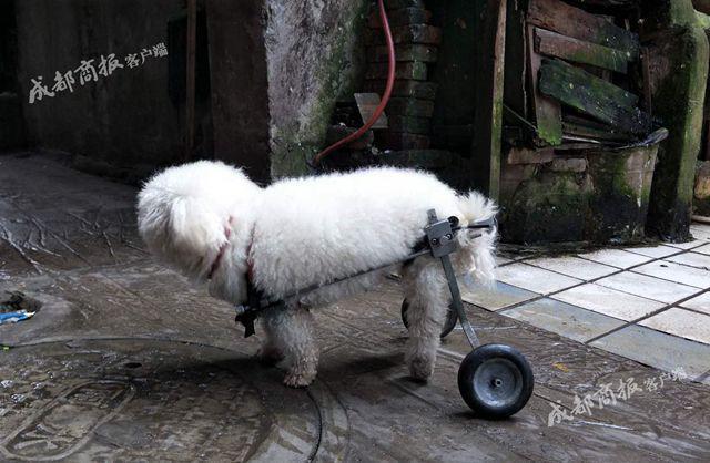 小狗后腿瘫痪主人不离不弃 坐上残疾车照样出去看世界
