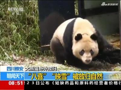 """雅安大熊猫""""八喜""""""""映雪""""被放归自然"""