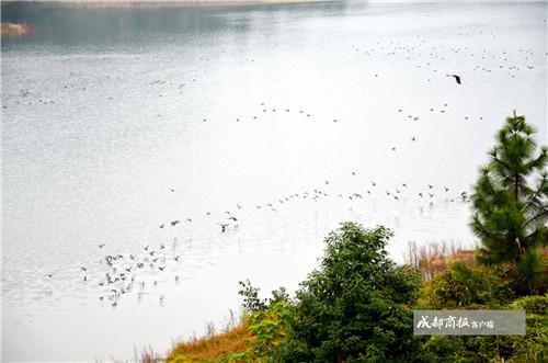隆昌古宇湖候鸟同期大幅减少 渔船惊走还是气候因素