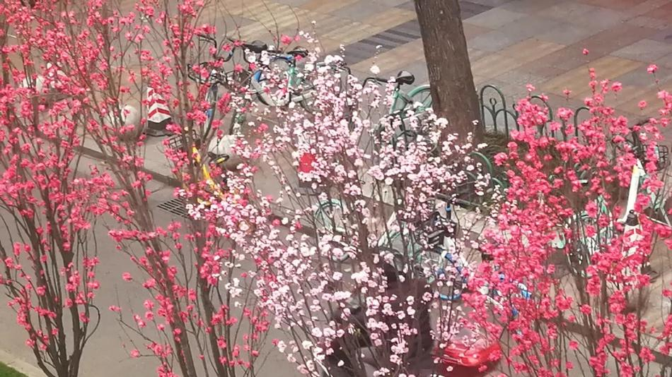 成都街头桃花盛开 春天的颜值太高了