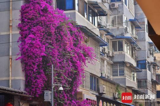 成都霸气三角梅开满4层楼 宛若紫色鲜花瀑布般壮观