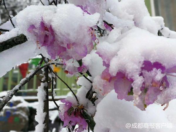 雅安宝兴硗碛春雪银装 鲜花晶莹