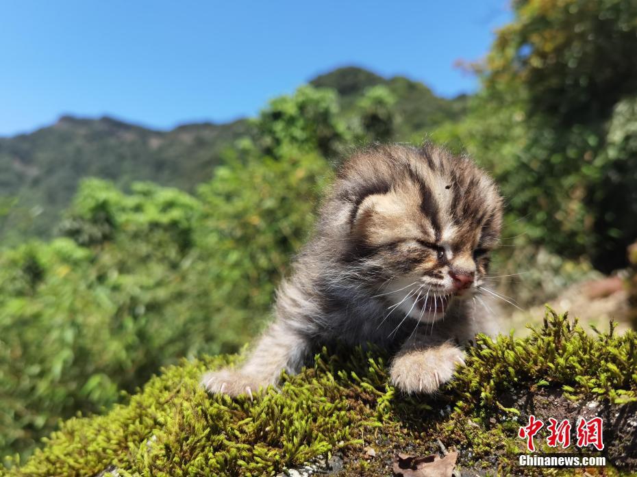萌呆了 四川泸州发现豹猫幼崽