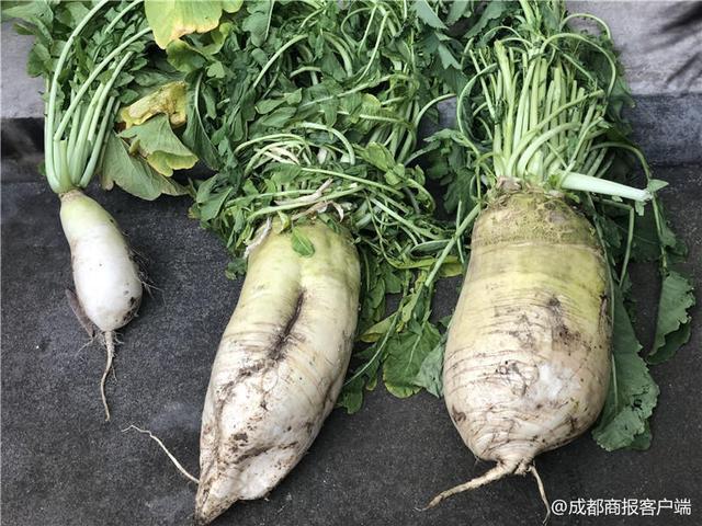 """绵阳村民种出16斤重的""""萝卜精"""""""