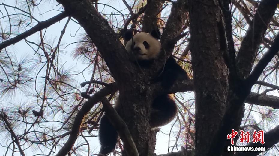 凉山冕宁县山上积雪觅食难 野生大熊猫下山觅食