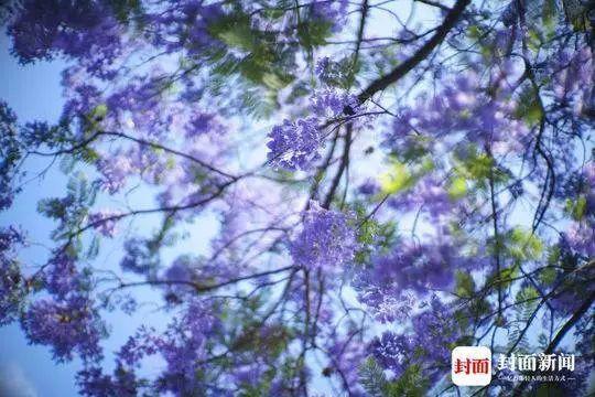 惊艳!四川这条街道变紫色花海 你去过吗