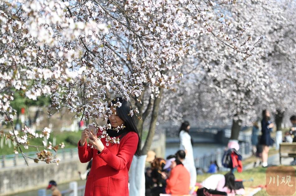 春天真的来啦!成都红叶李迎风绽放缤纷烂漫