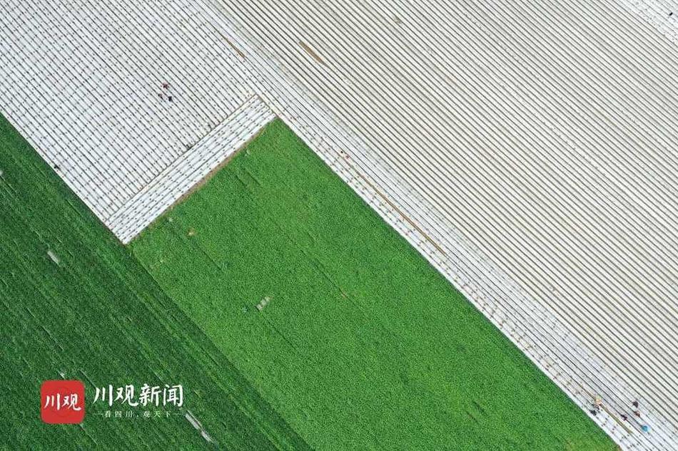 """四川蓬安:万亩蔬菜种植基地让村民发""""四季财"""""""