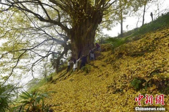泸州2200岁银杏满地黄金叶 醉游人
