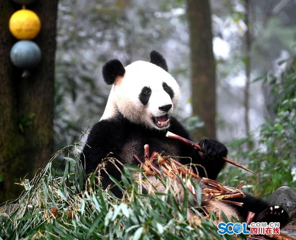 碧峰峡大熊猫憨态可掬萌翻游客