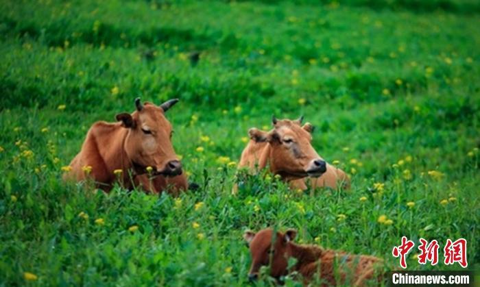 四川雅安高山草甸山花烂漫牛羊成群
