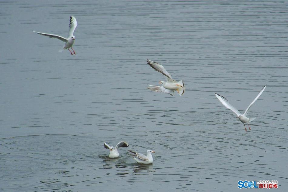 飞翔的白色倩影!炫乐彩票鹿溪河生态区成候鸟栖息地