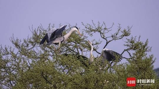 四川一百年沙泡树鸟窝上百 白鹭、老鹳又开始回来筑巢了