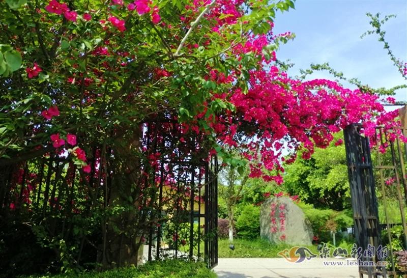花开如瀑!乐山城区的三角梅又开了 美不胜收