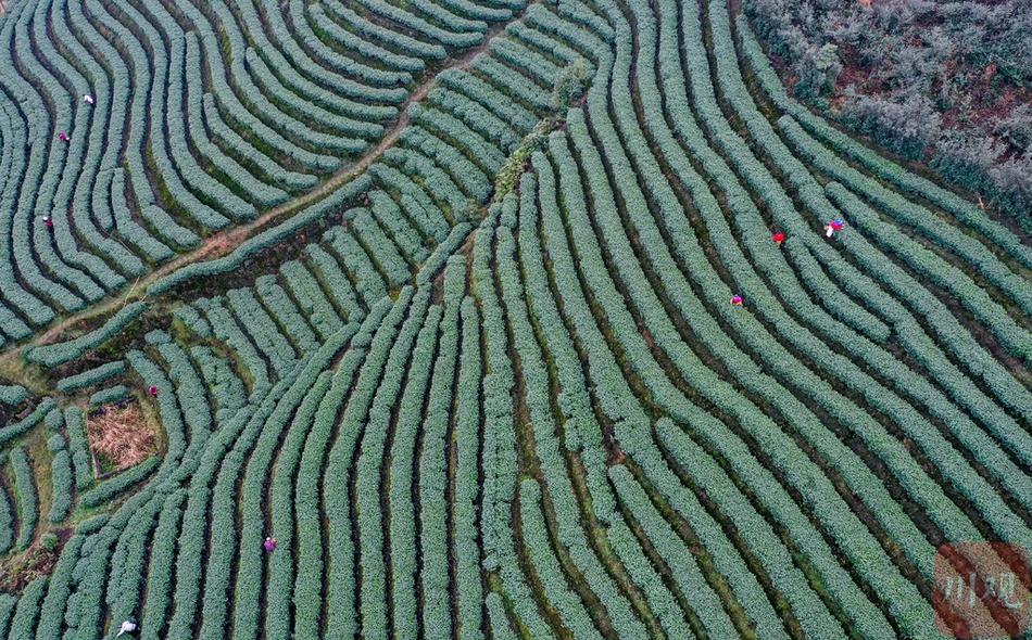 焙暖早茶香 泸州早茶进入最佳采摘期