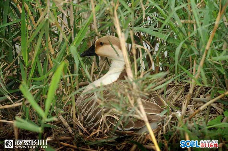 资阳:沱江春暖 成百大雁扎寨湿地产蛋孵化
