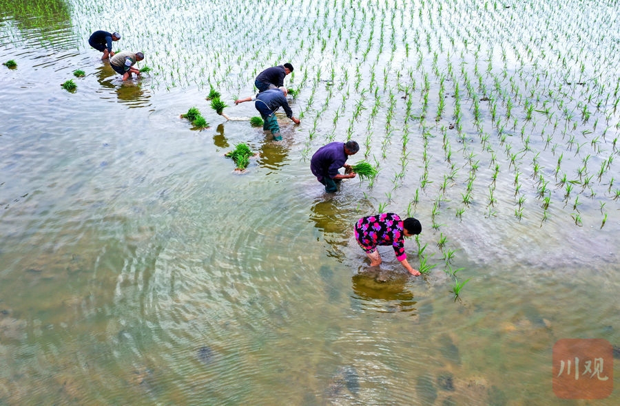 泸州:谷雨润万物 田间插秧忙