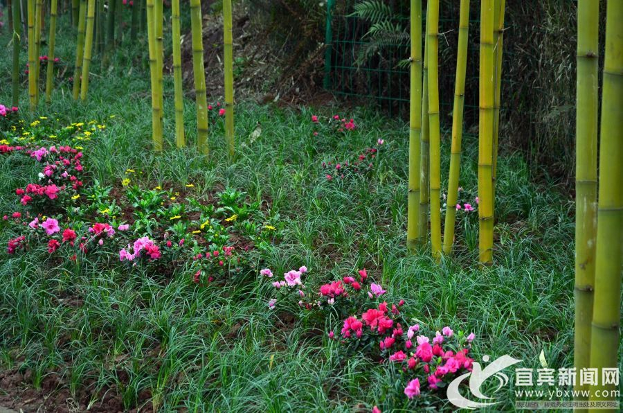 打造百里翠竹长廊 宜长路竹景观效果初显