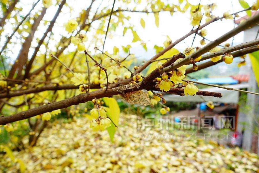 泸州:隆冬时节腊梅开 朵朵飘香挂枝头