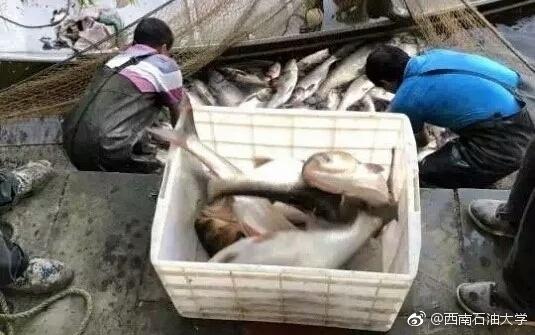 四川高校捞2000斤大鱼 请全校师生免费吃