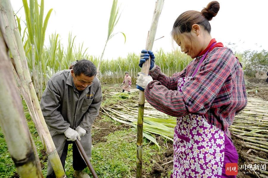 绵阳安州:千亩甘蔗喜迎丰收