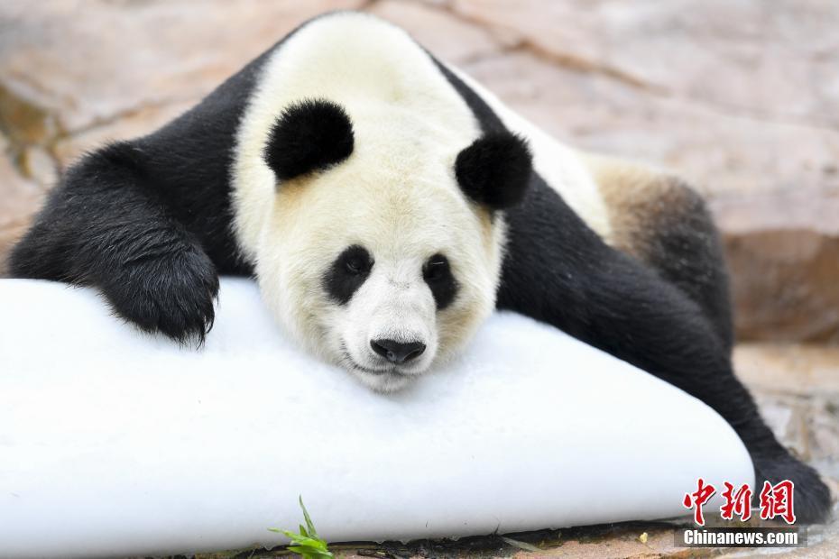 大熊猫趴冰消暑 萌翻网友