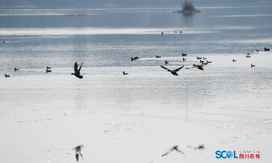 蓬安:嘉陵江好生态 引来众鸟栖息
