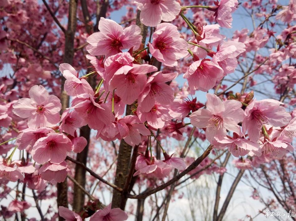 眉山满城樱花雨 最美的爱情花间寻