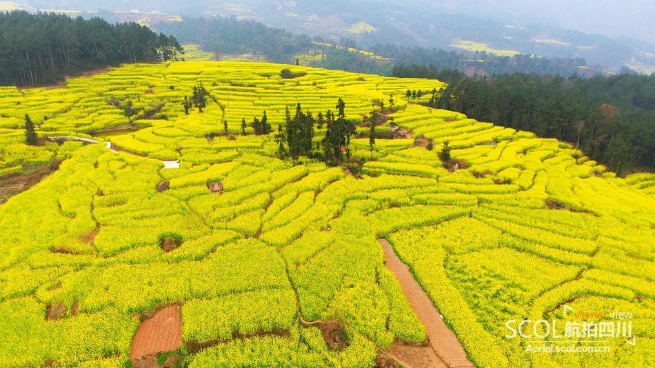带你沉浸浓浓春意中 瞰四川油菜花的美丽