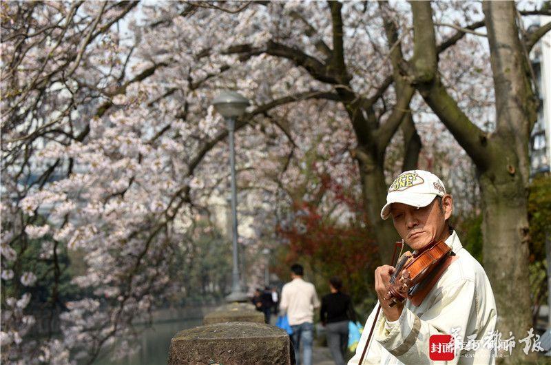 泡桐花开了 成都市民用琴声赞美春天