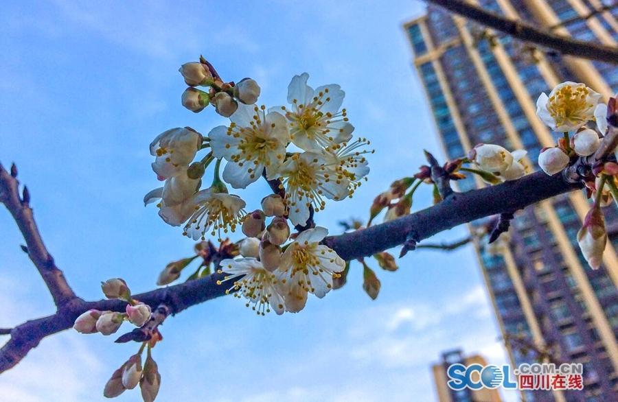 春到蓉城百花鲜 一起来赏春