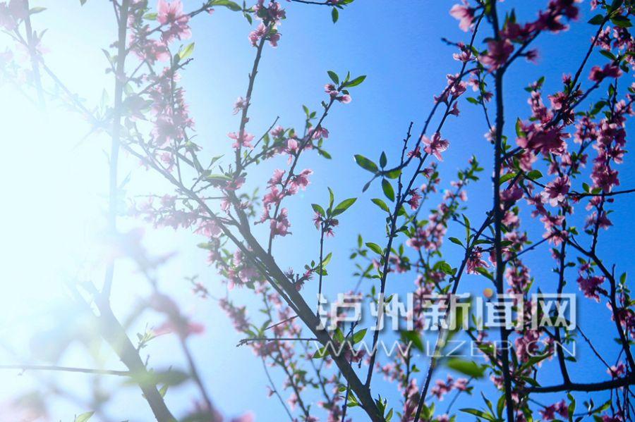 泸州桃花盛放 姹紫嫣红惹人醉