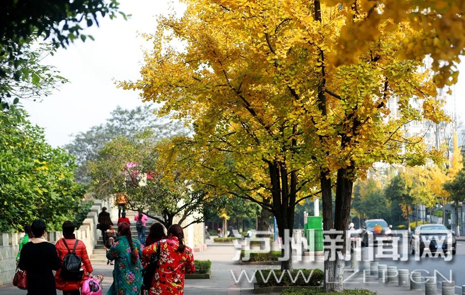 泸州城区银杏树逐渐换上金黄色衣裳