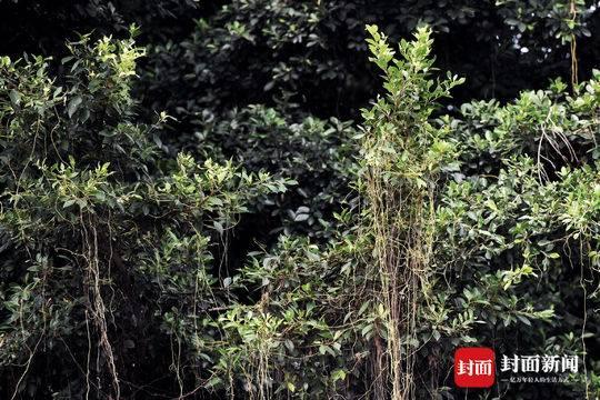 你造吗?现实版蓝银草原来是植物杀手