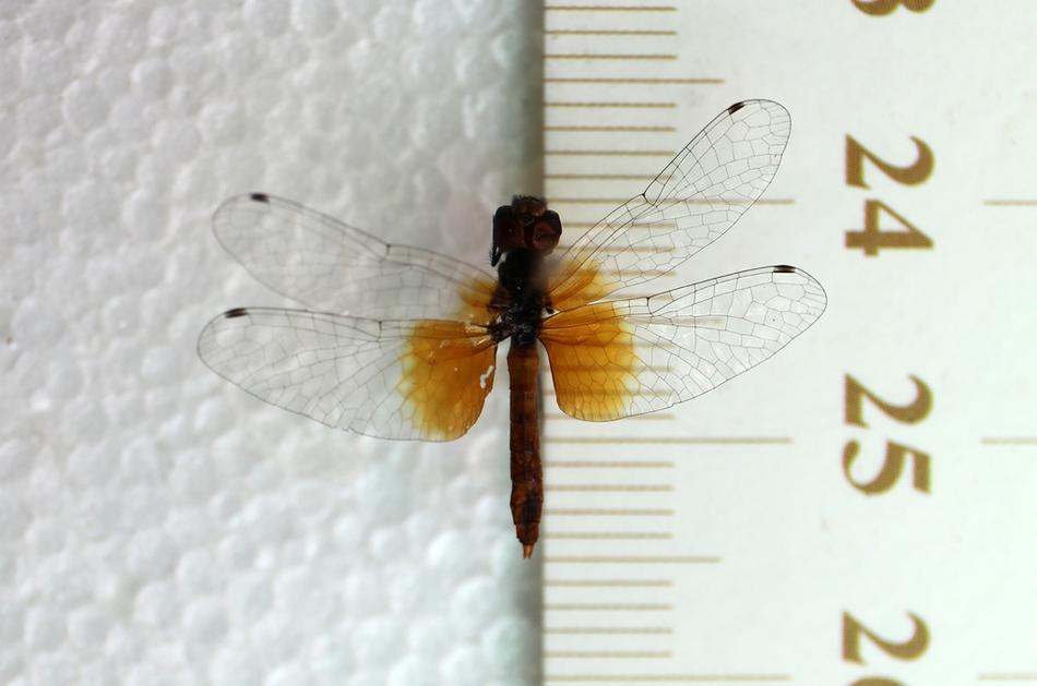 组图|四川发现世界最小蜻蜓