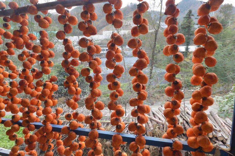 柿树高高挂灯笼 青川苏阳柿子红