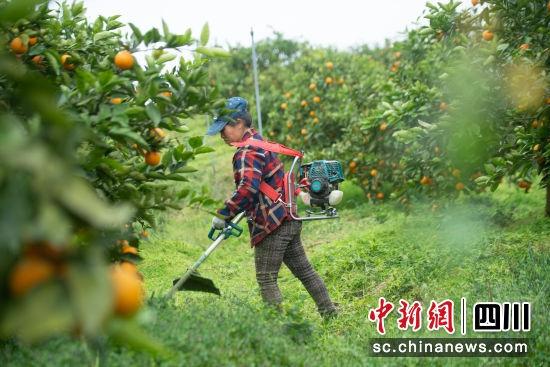 四川蓬安:果园春耕忙