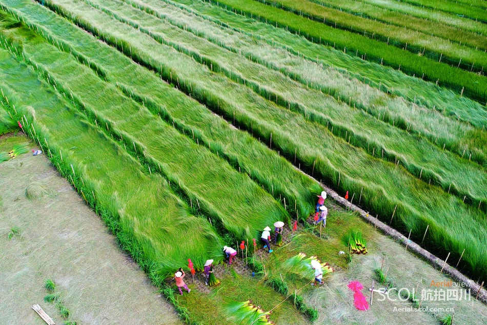 眉山东坡区迎来蔺草收割季 瞰绿油油的丰收画卷