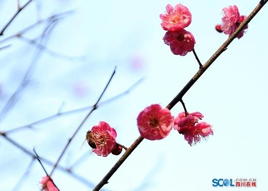 组图丨赏梅好时节 泸州腊梅花开迎新春