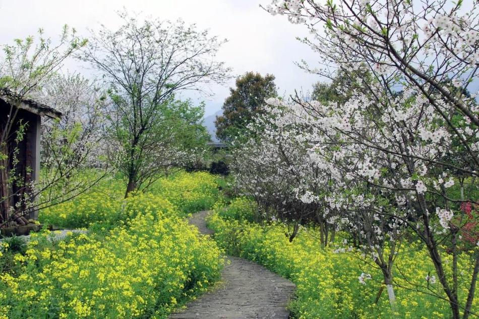 美丽!沐川的樱花开了